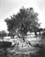 Click to see details of ancient olive tree in the garden of...