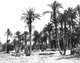 Click to see details of palm grove at el-sheikh...